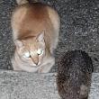 Auribeau agosto 2020, Incontro notturno tra gatto e riccio