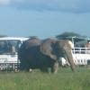 Kimana Park Safari, elefanti