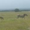 Kimana Park Safari, zebre
