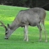 A 17Mile Drive, deer