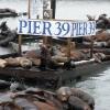 Pier 39, foche