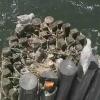 A Orcas Island, ferry harbour, nido di gabbiani