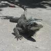 Sapphire Hotel, iguana