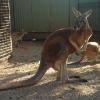 Blacktown, Featherdale Wildlife Park, canguri