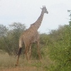 Tsavo East Park Safari, giraffa
